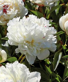 Loving this Festiva Maxima Peonies Bare-Root - Set of Three on #zulily! #zulilyfinds