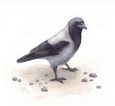 Metsä kuvat - Kiertävä luontokoulu Naakka Bird, Crows, Ravens, Animals, Raven, Raven, Animales, Animaux, Birds