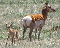 Pronghorn mama & baby