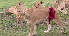 This lioness was injured when a male buffalo rammed into her. The buffalo almost ripped off her leg.
