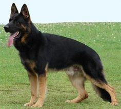 This is what my Leia is gonna look like! She's a bi colored German shepherd:) gorgeous