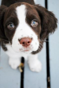 Baylee English springer spaniel puppy spotted cute nose.One look into there eyes and you can see there beautyful soul..