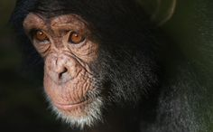 A Fight to Recognize Chimpanzees as Persons Could Save the Animal Kingdom