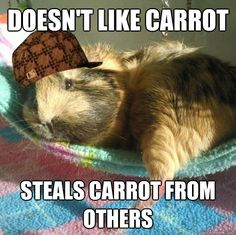 Douche Bag Guinea Pig - or, in twee's case, drops carrot, forgets it is food, and  runs away in terror...