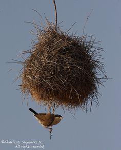 Black Capped Social Weaver
