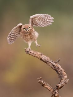 ~~I'm just a gigalo... ~ owl balancing act by Amnon Eichelberg