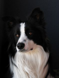 One of the most beautiful dogs in the world- Border collie Border Collie Welpen, I Love Dogs, Cute Dogs, Most Beautiful Dogs, Border Collie Puppies, Herding Dogs, Mundo Animal, Doge, Dog Life