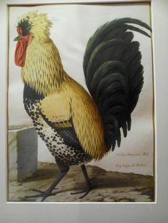 Miniature animalière sur vélin pour la collection royale, Muséum Gallus patavinus, Aldr, Coq huppé de Padouë, Buffon (Gallus gallus, L.)