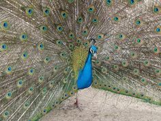 Peacock, Plumage, Bird, Peafowl Peacock Images, Peacock Photos, Peacock Tail, Peafowl, Pure Beauty, High Quality Images, Pure Products, Bird, Peacock
