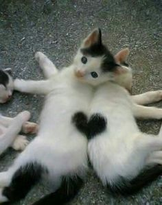 Wow! Look at the heart shape these cute little kittens are making with their backs against each other! PURRFECT!!