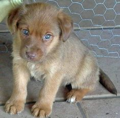 Exactly the pup I want--a golden retriever, german shepherd mix.