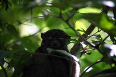 Gray-backed sportive lemur - A gray-backed sportive lemur (Lepilemur dorsalis) in the Lokobe reserve, Nosy Be, Madagascar.