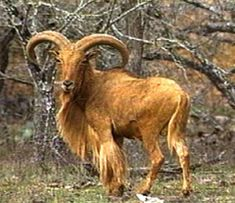 Aoudad, another non-native species here in TX.