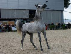 #Cheval #Horse #Pferd #PurSangArabe #Araber #Arabian #SalondelAgricutluredeBordeaux