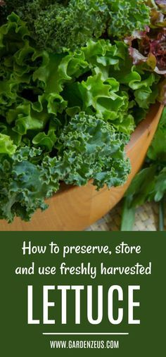 Freshly picked, loose leaf lettuce is highly perishable and can be expected to last no longer than two to three days even under the optimal conditions. #preservingyourharvest #lettuce #gardening #greenhouse #greenhousegardening