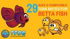 Betta Tank Mates are tough to find. Use This Ultimate List to find Safe & Compatible Fish That Can Live With Betta Fish. Find a companion for your Betta Fish in or even tanks. The Tank Mate for your Betta is. Tropical Freshwater Fish, Tropical Fish Tanks, Freshwater Aquarium Fish, Betta Aquarium, Betta Fish Tank Mates, Betta Fish Care, Community Fish Tank, Rat Terrier, Fisher