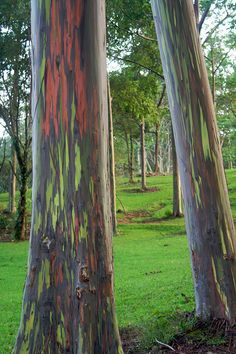 Rainbow eucalyptus aka rainbow gum: patches of outer bark are shed annually at different times, darkening and maturing to give blue, purple, orange and then maroon tones. | 30 Natural Phenomena You Won't Believe Actually Exist