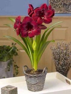 Amaryllis Carmen  http://flowerbulbsrus.com/product/amaryllis-carmen/