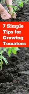 7 Simple Tips for Growing Tomatoes Good, simple and straightforward