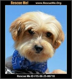 My name is Danny and I am a little Morkie boy who is 7 years old and I weigh 10 pounds. I need a stay at home parent and someone who is willing to be loving and patient with me. I am very scared of this big new world right now so no children who would scare me please. If you have the perfect home for me, please ask for me on your application. Love, Danny 061415-27  Adoption Fee: $275.00Animal Location:  Breeder Release Adoption Service 18500 C.R. 47.7