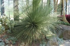 Image result for yucca linearifolia