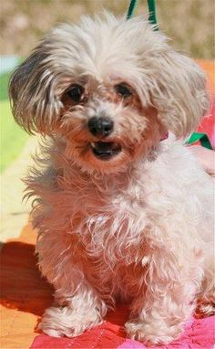 09/002/14 sl ~Marie ~ Shih Tzu Mix • Adult • Female • Small Humane Society of Southeast Texas Beaumont, TX A Dogs Prayer, Shih Tzu Mix, Save Animals, All Gods Creatures, Together We Can, Humane Society, Dog Love, Dog Cat, Adoption