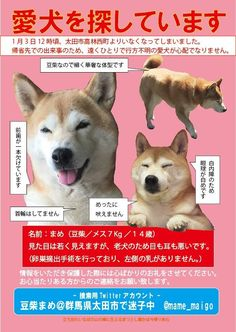 Photos and videos by 柴犬ロコ (@shibainu_roco) | Twitter