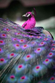 Pink peacock--awesome and amazing!  what a color--I should be colored pink!