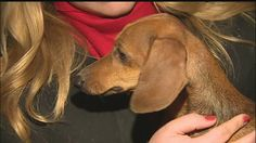 It took more than two hours, 15 grown men, shovels and flood lights to free a 4-year-old dachshund trapped under a retaining wall.