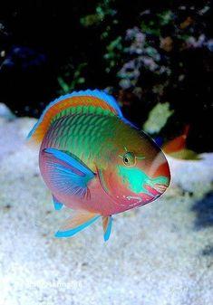 Quoy's Parrotfish (Scarus quoyi) - I wish I could live under the sea Underwater Creatures, Underwater Life, Ocean Creatures, Saltwater Tank, Saltwater Aquarium, Aquarium Fish, Freshwater Aquarium, Jellyfish Aquarium, Colorful Fish