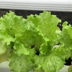 "@bluecreekacres on Instagram: ""#BlueCreekAcres #Hydroponics #HydroponicSystem #Colorado #RockyMountains #Telluride #Ridgway #Ouray #Farm #Farmington #Agricultural…"" Hydroponic Lettuce, Hydroponics System, Rocky Mountains, Farming, Acre, Colorado, Vegetables, Instagram, Aquaponics System"