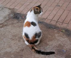 Calico cats in Morocco