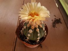 Astrophytum capricorne x asterias v. Cactus Flower, Cacti And Succulents, Table Decorations, Flowers, Plants, Home Decor, Capricorn, Decoration Home, Room Decor