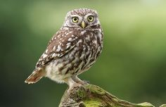 Wild Little Owl posing for me. Photography Tags, Wildlife Photography, Animal Photography, Owl Background, Owl Wallpaper, Beautiful Owl, Little Owl, Wild Ones, Woodland Animals