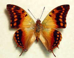 Charaxes candiope real dagger tail african Butterfly in an Archival Conservation Display