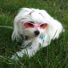 Protect your pups eyes with these K9 Optix dog sunglasses. Features 100% UV protection and shatterproof polycarbonate lenses. These glasses have a rubber frame and your pooch will look pretty in pink.