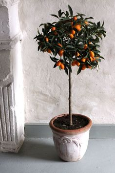I never knew a Kumquat Tree was so cute!-Makes a WONDERFUL gift for a Blessed and Prosperous New Year!