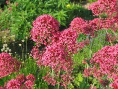 Centranthus ruber 'Coccineus' {{Rote Spornblume}} Samen