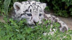 Берлинский зоопарк показал фото детеныша снежного барса « FotoRelax