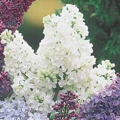 Offered by michiganbulb.com $5.99 right now.  Zone 3-7  Lovely double flowers an unforgettable fragrance. Shipping now!