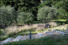 {Bernard Trainor + Associates} Olives and Muhlenbergia rigens