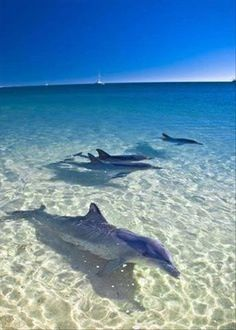 Meet the Dolphins that swim in the warm waters of Fuerteventura in the Canary Islands! #Fuerteventura #CanaryIslands http://www.timeshare-hypermarket.com/destinations/fuerteventura.aspx