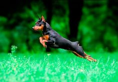 Miniature Pinscher; ah-studio