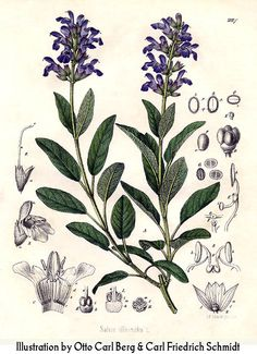 Salvia, the Latin name for sage, means 'to heal'. Internally, the sage is used for :        indigestion      flatulence      liver complaints      excessive lactation      excessive perspiration      excessive salivation      anxiety      depression      female sterility      menopausal problems    On the other hand, it is used externally for :        insect bites      skin infections      throat infections      mouth infections      gum infections      skin infections