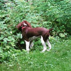 Charlie is #raspberry picking (for himself) #dogsofinstagram. #dogslife