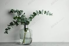 Beautiful eucalyptus branches in glass vase on grey table against white background. Space for text. Buy Creativity & Imagination. Take a look at what the world's best photographers have to offer at africa-images.com Eucalyptus Branches, Grey Table, Best Photographers, Imagination, Glass Vase, Creativity, Africa, Stock Photos, Space