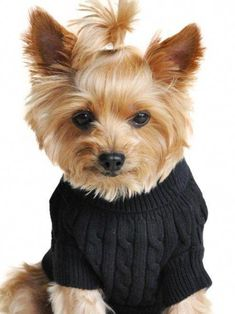 The Sprightly Yorkshire Terrier Health #yorkshireterriersverige #yorkshireterrierpoodle #yorkshireterrierhaircut