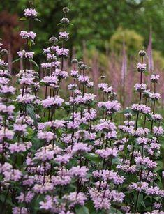 Buy Jerusalem sage Phlomis tuberosa & Delivery by Waitrose Gard. Cottage Garden Plants, Garden Shrubs, Pink Garden, Dream Garden, Garden Landscaping, Landscaping Ideas, Beautiful Gardens, Beautiful Flowers, Lilac Flowers