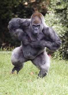 What Happens If You Start Pounding Your Chest In Front Of A Gorilla? http://www.shenhuifu.org/2016/12/28/pounding-your-chest/ #animals #gorillas #wildlife #humans