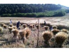 Molise: A #Toro il #miglior campo di grano. Tre ettari selezionati per il rito della mietitura (link: http://ift.tt/28UfwHw )